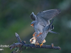 red-footed-falcon_kekv-052