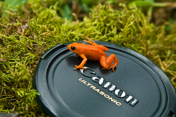 golden-mantella-frog