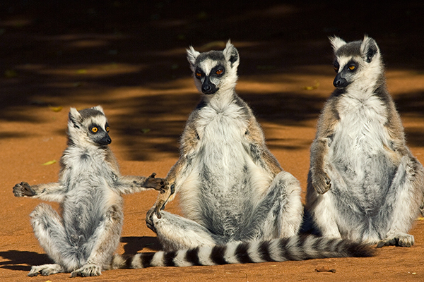 ring-tail-lemur-family