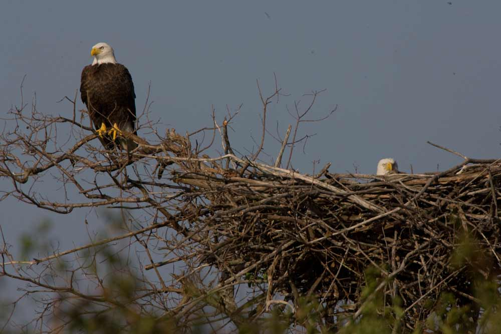 american-bald-eagle-pair