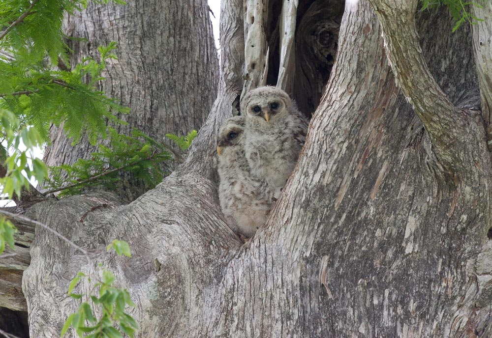 barred-owl-chicks-in-tree-hole