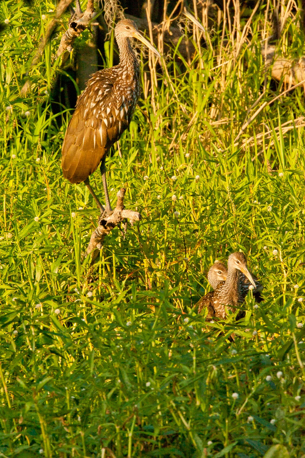 limpkin-chicks