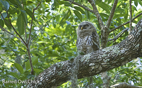 barred-owl-chick-2