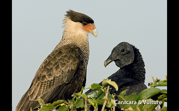 caracara-and-vulture