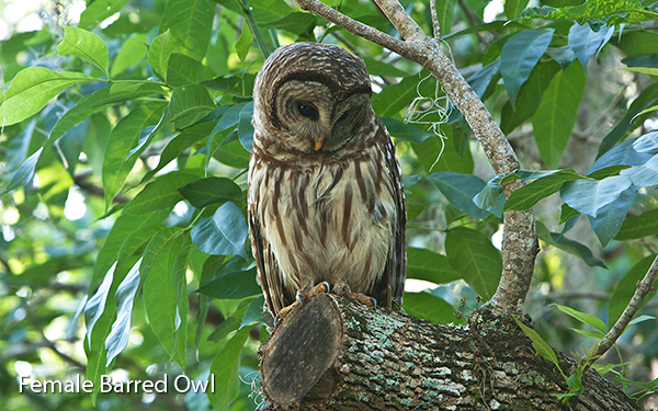 female-barred-owl