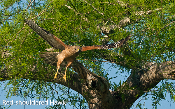 red-shouldered-hawk-flight