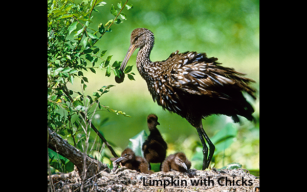 limpkin-with-chicks