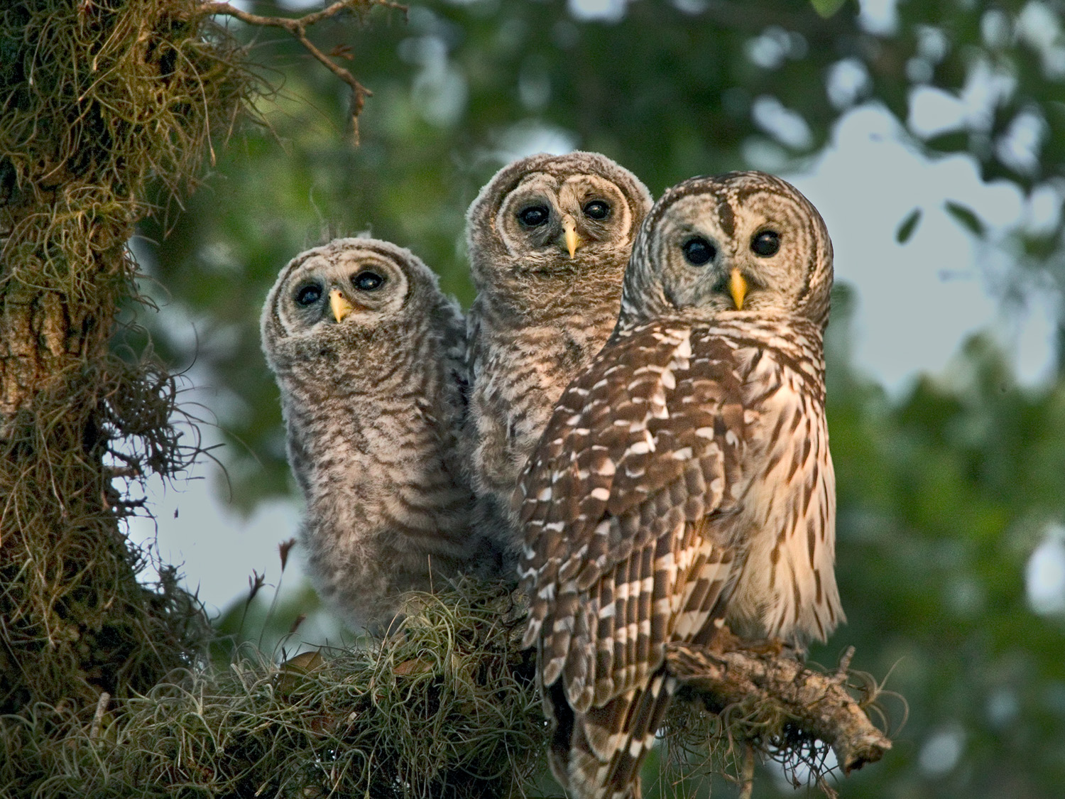 barred-owls-on-a-stroll