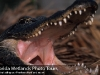 Snarling Gator Shows Off Some Teeth