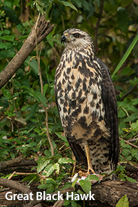 Great-Black-Hawk-of-Belize