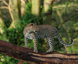 Leopard-on-branch