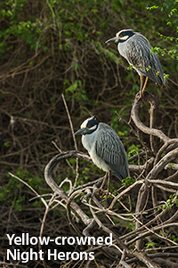 Yellow-crowned-Night-Herons